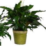 Classic Peace Lily - Deluxe