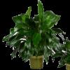Classic Peace Lily - Premium