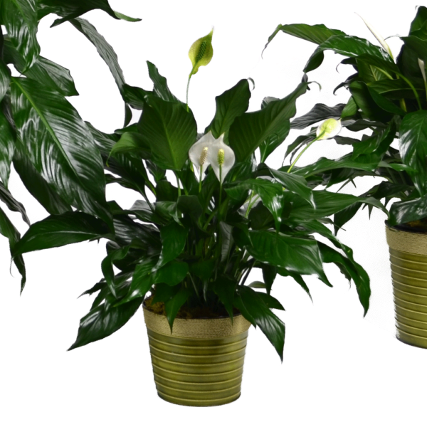 Classic Peace Lily - Small
