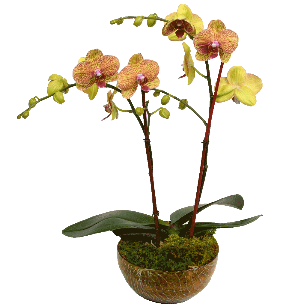 Elegant Double Stem Orchid