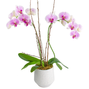 Elegant Double Stem Orchid in Upgraded Container