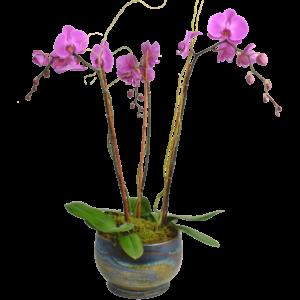 Elegant-Triple-Stem-Orchid
