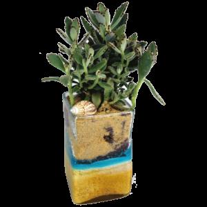 Seashell Succulent