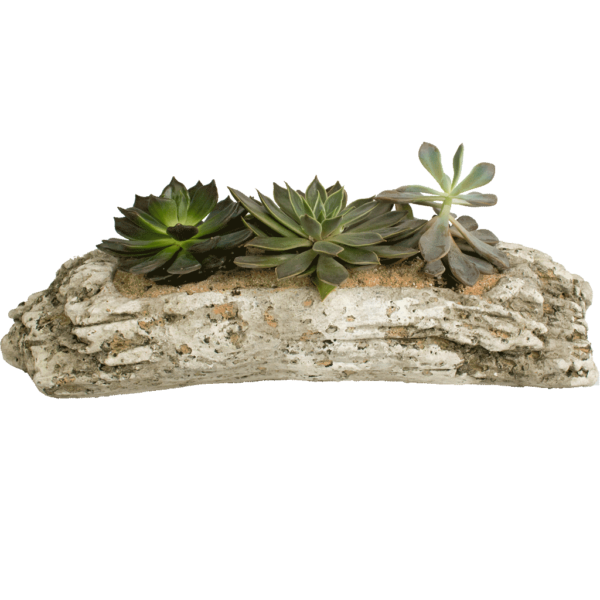 Three Succulents in Driftwood